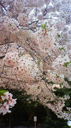 熊野神社の桜2