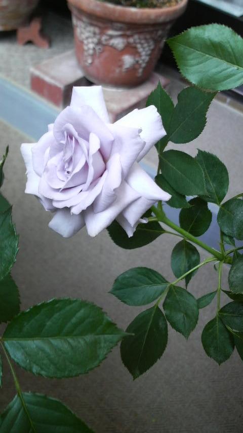 埼玉県のJun<br />  ちゃんちの薔薇2