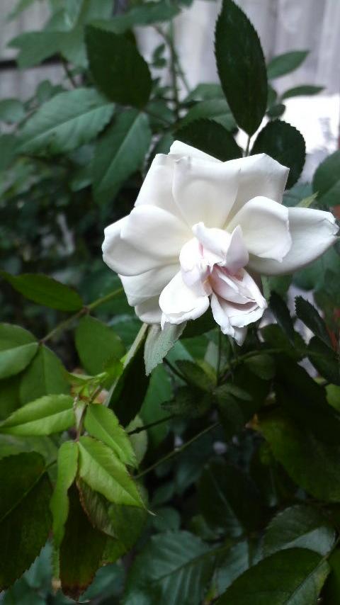 埼玉県のJun<br />  ちゃんちの薔薇