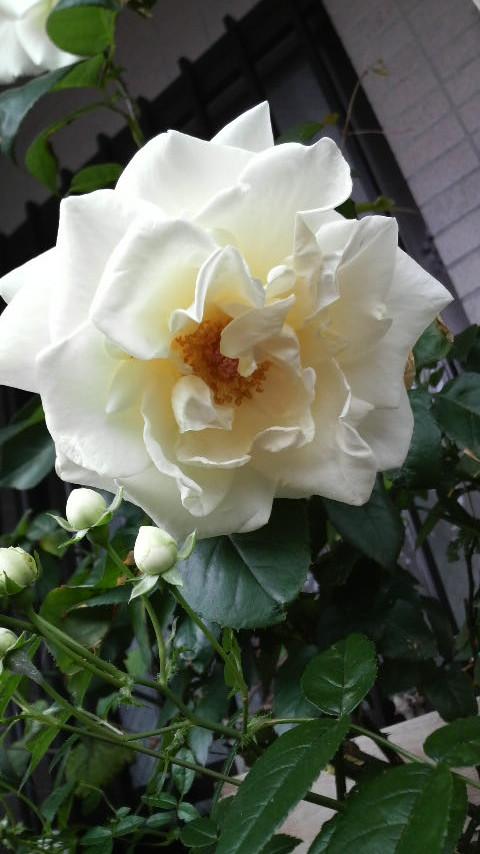 癒しの白薔薇