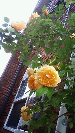 やっと薔薇が…