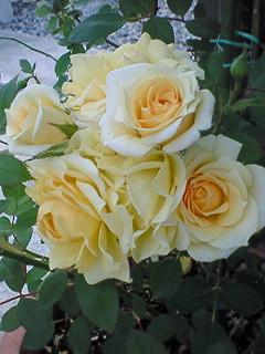 あっこりん宅の黄薔薇