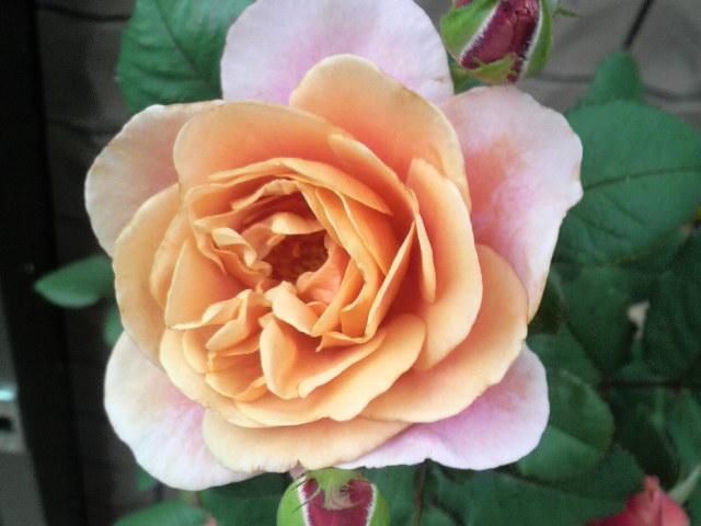 ラビちゃんちの薔薇