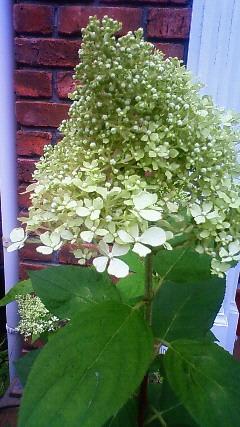 ライムライトの開花
