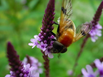 風のガーデンのハチさん