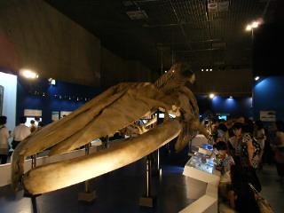 世界最大の生物 シロナガスクジラの全身複製骨格