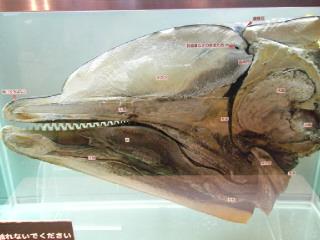 イルカの頭部断面標本