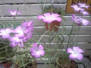 アグロステンマ開花